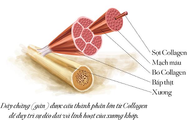 Collagen là gì? tác dụng của collagen với da mặt